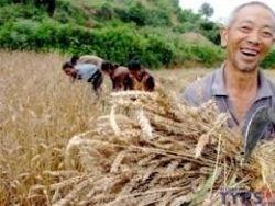 Китай соберет рекордный урожай зерна в 2011 году