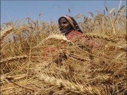 Индия: рекордный урожай пшеницы может просто сгнить