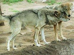В Туве активно борются с волками