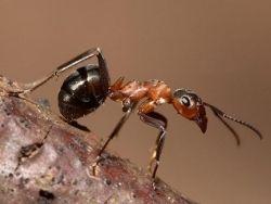 В Москве больше не борются с рыжими муравьями