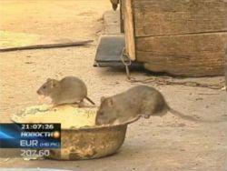 Премьеру Казахстана предложили разобраться с крысами