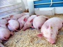Африканская чума свиней распространилась на 20 регионов РФ