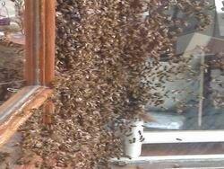 Пчелы взяли в заложники покупателей кондитерской