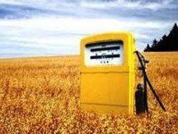Пшеница для еды или езды?