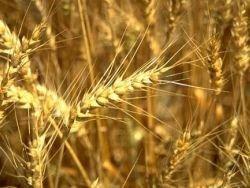 В США прогнозируют рост экспорта зерна в РФ