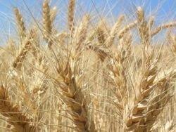 Ученые вывели сорт пшеницы для возделывания в Африке