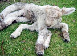В Новой Зеландии родился семиногий ягненок-гермафродит