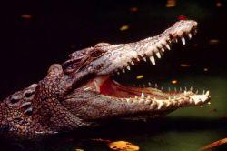 В Якутске после 19 дней скитаний нашелся крокодил