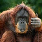 Орангутаны способны разгадывать шарады