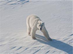 берлинском зоопарке умер медведь КнутЖириновский. недоволен талисманами Олимпиады.  На Таймыре белый медведь напал на...