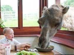 Американская пара каждое утро завтракает с верблюдом