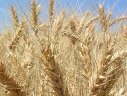 Украина рискует оказаться заваленной зерном