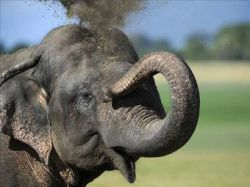 На Шри-Ланке проведут перепись слонов