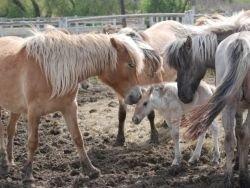 В Якутии вывели новую породу лошадей