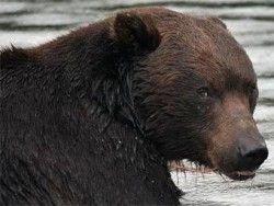 На Камчатке медведь задрал двух человек