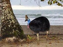 Казуар - самая опасная птица
