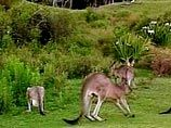 Под Парижем расплодились дикие кенгуру