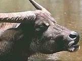 Россия введет ограничения на ввоз британского скота
