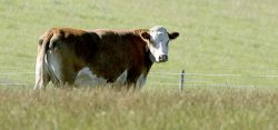 Британцы убьют коров раньше ящура