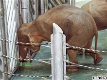 Калининградскую слониху зовут в эмиграцию