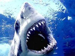 У берегов Сахалина завелись белые акулы