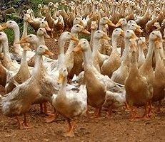 Во Франции подтверждена вспышка птичьего гриппа