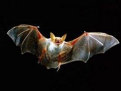 Летучие мыши станут прототипом самолетов