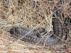 Латыш доказал, что со змеями целоваться опасно