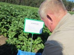 На Урале начинают выращивать молодильную картошку