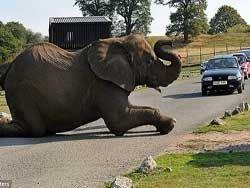Слон стал причиной пробки в сафари-парке