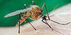 Великобритания подверглась нашествию комаров