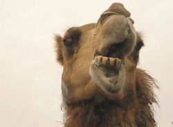 Жительницу Австралии затоптал собственный верблюд