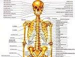 Японцы смастерят человеческие кости
