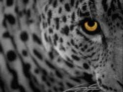 Leopard матереет на глазах
