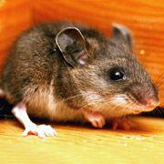 Мыши чуют очень слабый запах углекислого газа