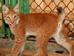 Новорожденных рысят из зоопарка назвали в честь Аршавина