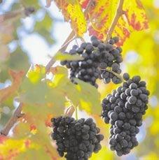 """Молдавия создает \""""виноградную ипотеку\"""""""