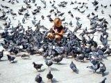 Каждый голубь обходится Венеции в 23 евро