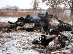 Ленобласть: трупы животных гниют под открытым небом
