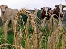 ООН: стоимость зерна обречена на снижение в 2012 году