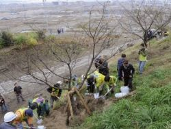 Японцы отметят линию цунами вишнями