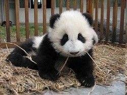 Китаец собирается производить чай из фекалий панды