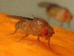 Генетики существенно продлили жизнь плодовых мушек