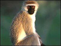 Черномордые обезьяны устроили людям черные дни