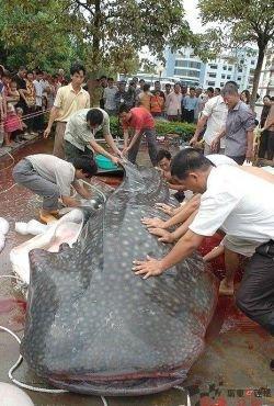 Огромный сом-людоед пойман в Китае?