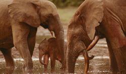 Слоны лишают пропитания жителей Конго