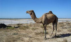Массовый падеж верблюдов в Саудовской Аравии
