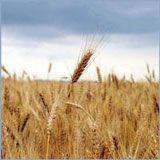 Цены на зерно рекордно растут
