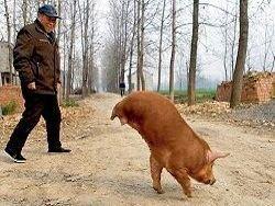 Свинья, родившаяся без задних ног, нашла своё место в жизни