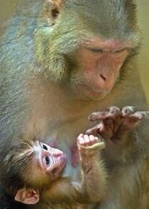 Макаки-резус сюсюкают с потомством